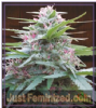 Ace Seeds Panama Haze Female 5 Marijuana Seeds